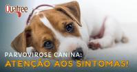Parvovirose Canina: atenção aos sintomas!