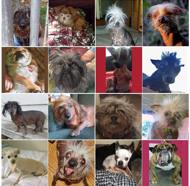 Concurso Nos Eua Elege Cachorro Mais Feio Do Mundo Quatree